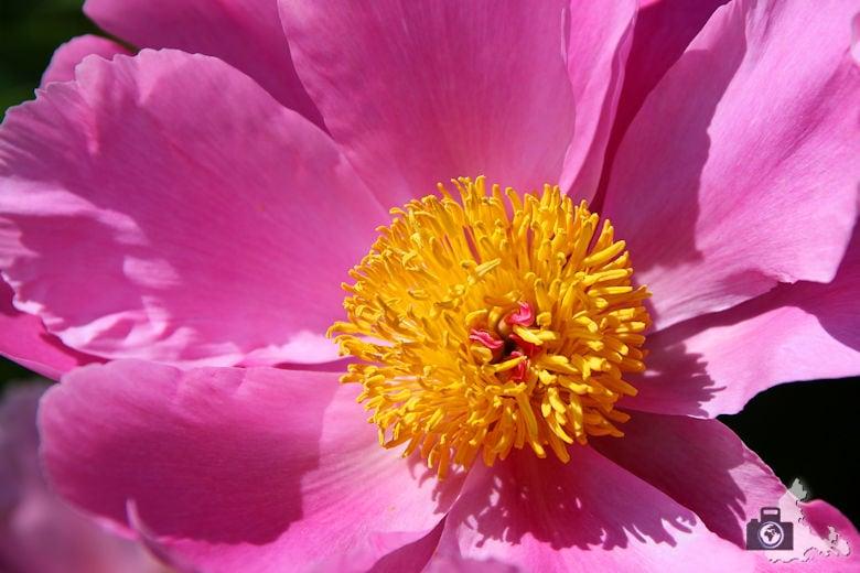 Fotowalk 3 - Ettenheim, rosa gelbe Blüte