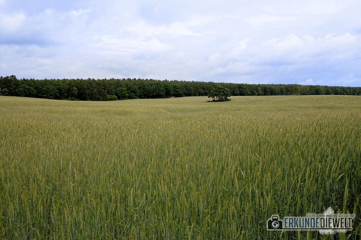 Getreidefeld, Mecklenburgische Seenplatte, Deutschland