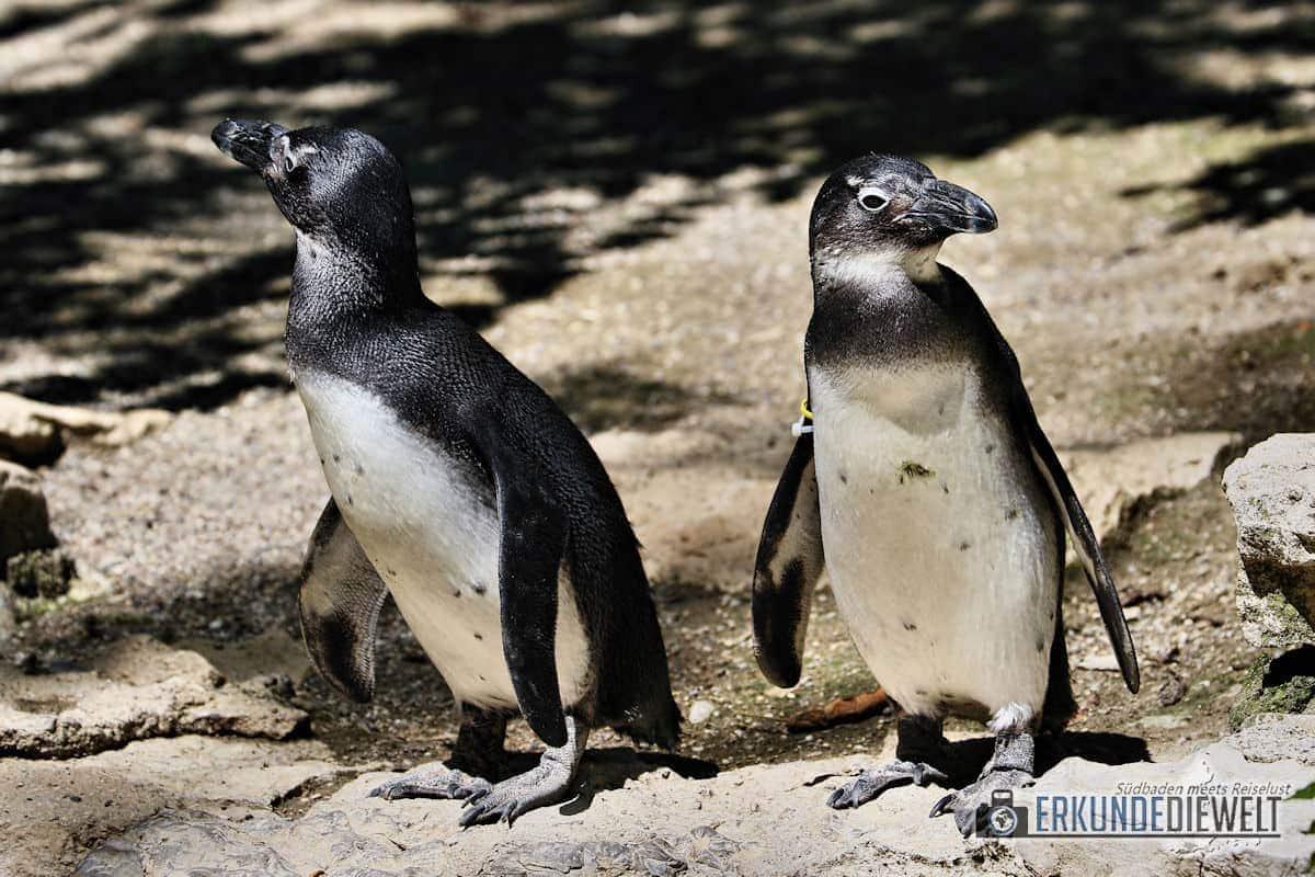 Canon 70-300 L IS USM -  Beispielbild Pinguine