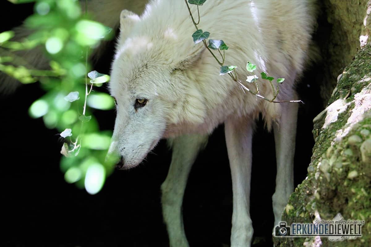 Canon 70-300 L IS USM -  Beispielbild Weißer Wolf