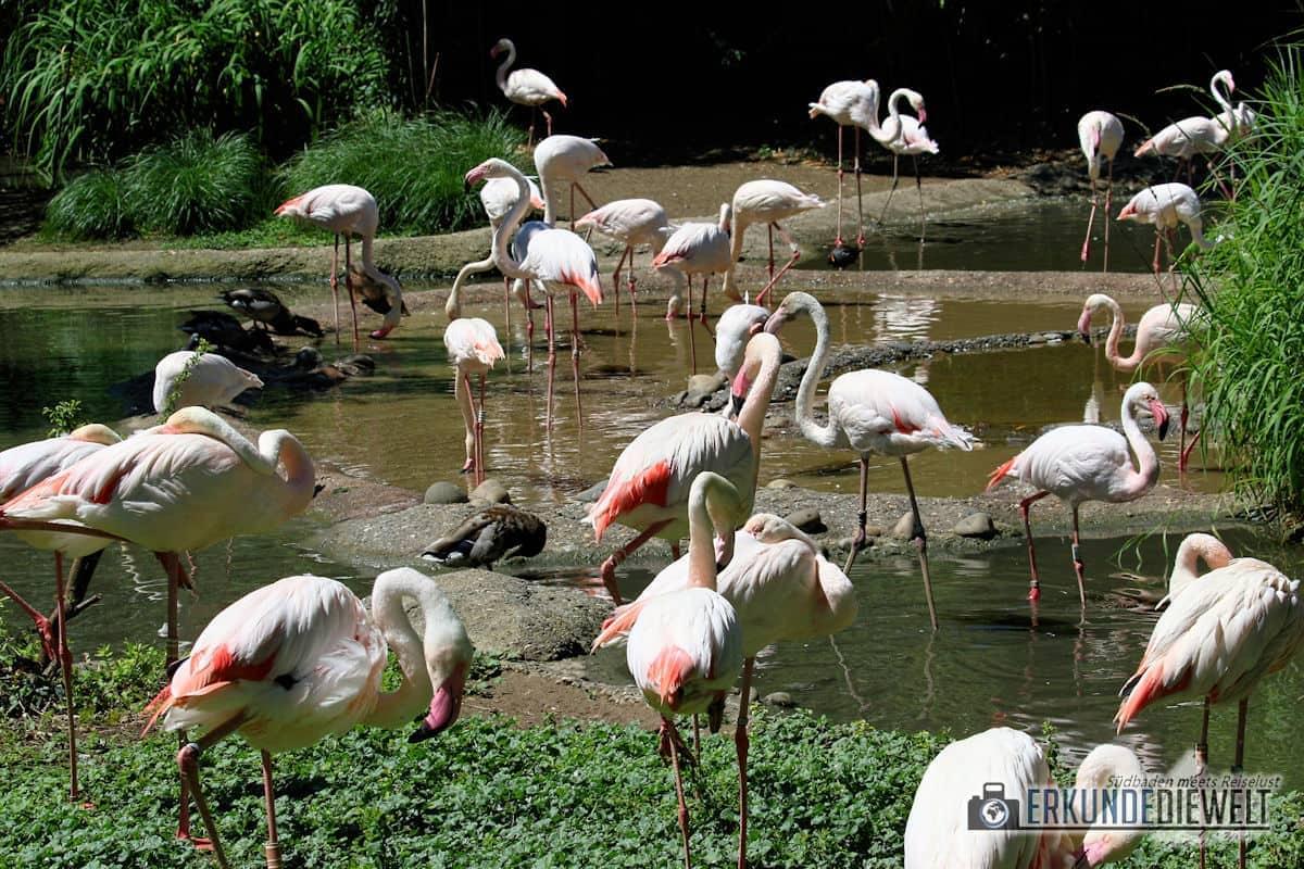 Canon 70-300 IS II USM - Beispielbild aus dem Zoo Basel - Flamingos