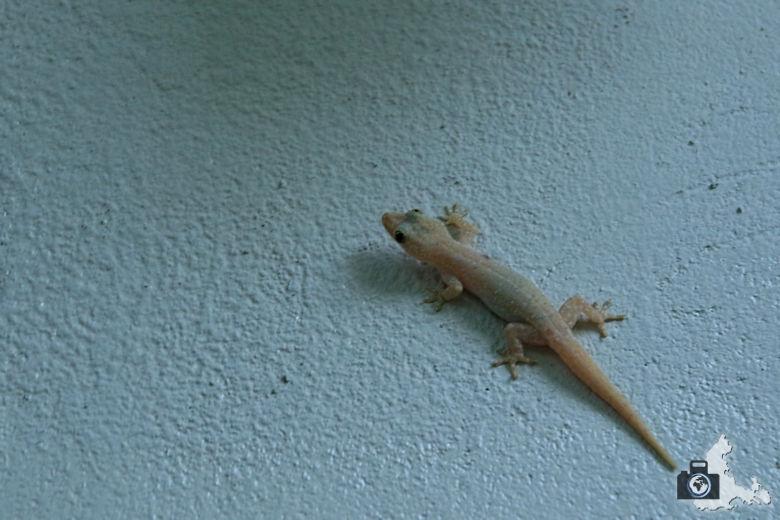 Malediven Ukulhas Gecko