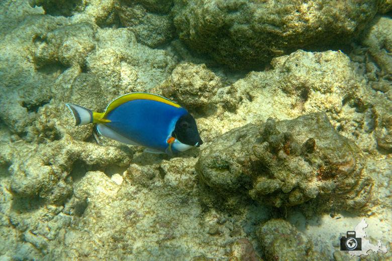 Malediven Ukulhas Weißkehl Doktorfisch