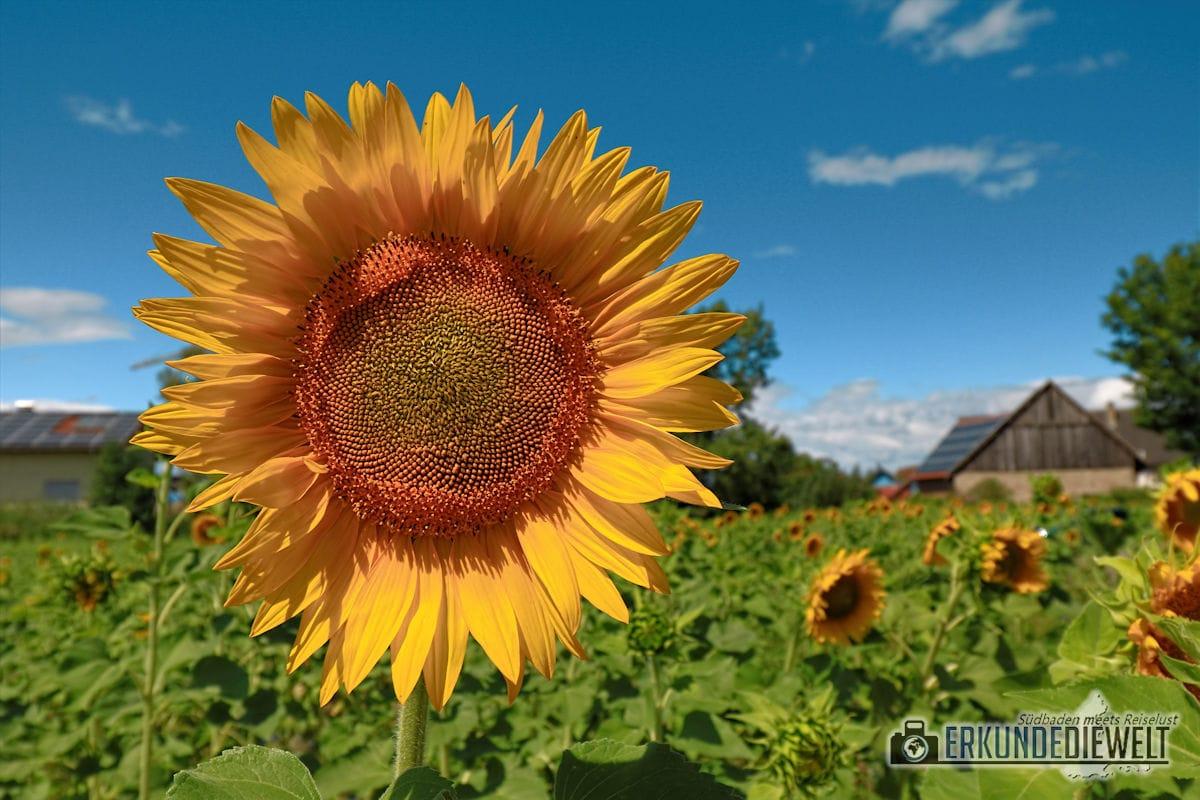 Sonnenblume im Kaiserstuhl, Deutschland