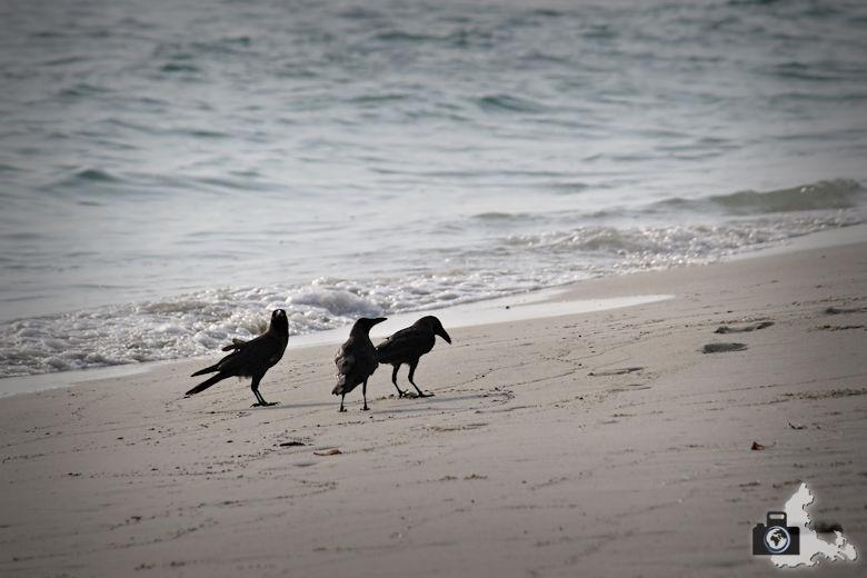 Krähen am Strand, Ukulhas, Malediven