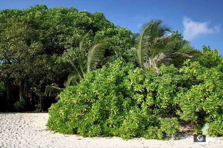 Vegetation auf Ukulhas, Malediven