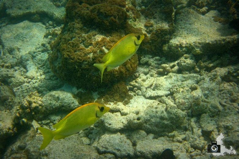 Ukulhas Malediven - Indischer Korallen Kaninchenfisch