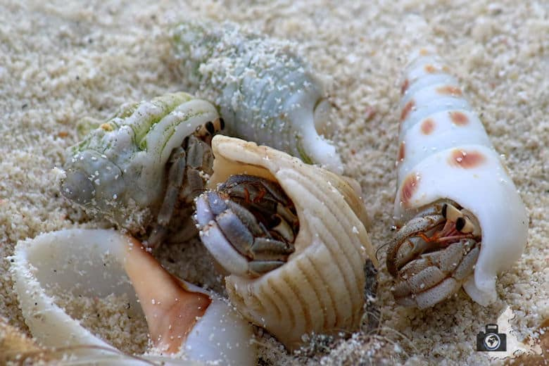 Einsiedlerkrebse am Strand von Ukulhas auf den Malediven