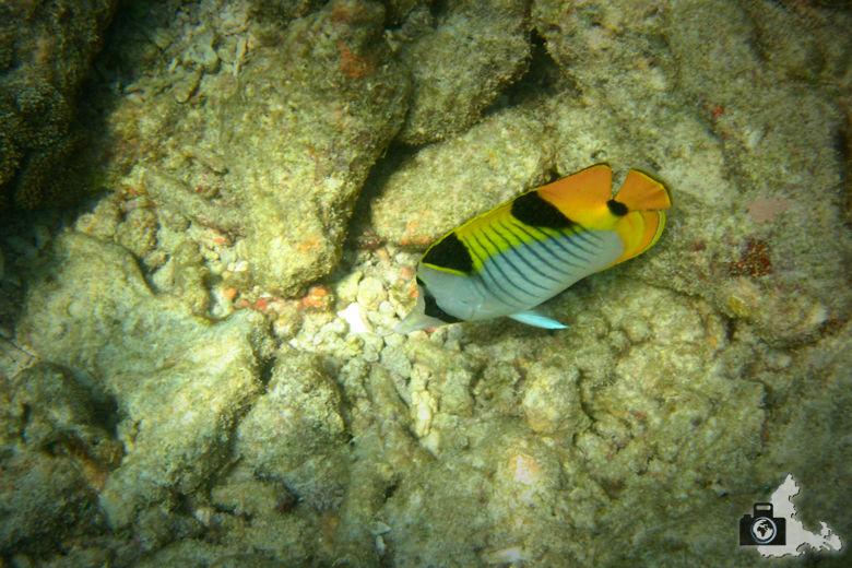 Indischer Doppelsattel Falterfisch auf den Malediven