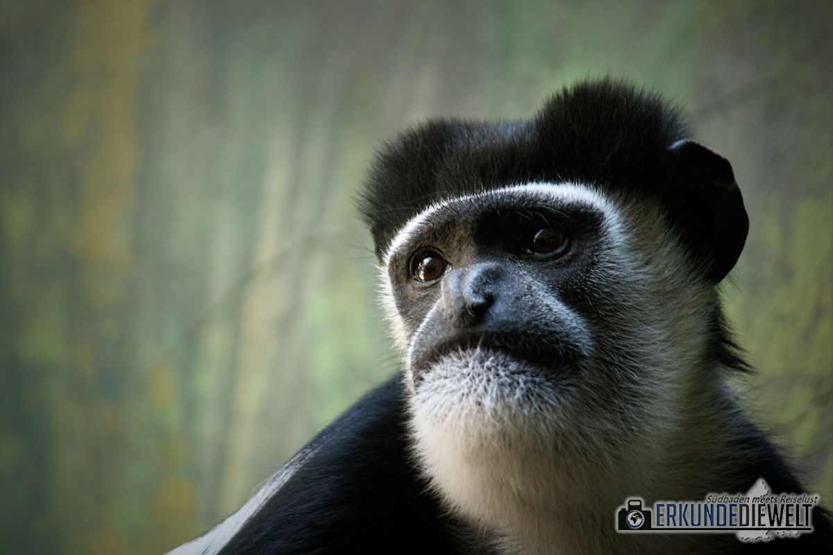 Mantelaffe | Zoo Antwerpen, Belgien