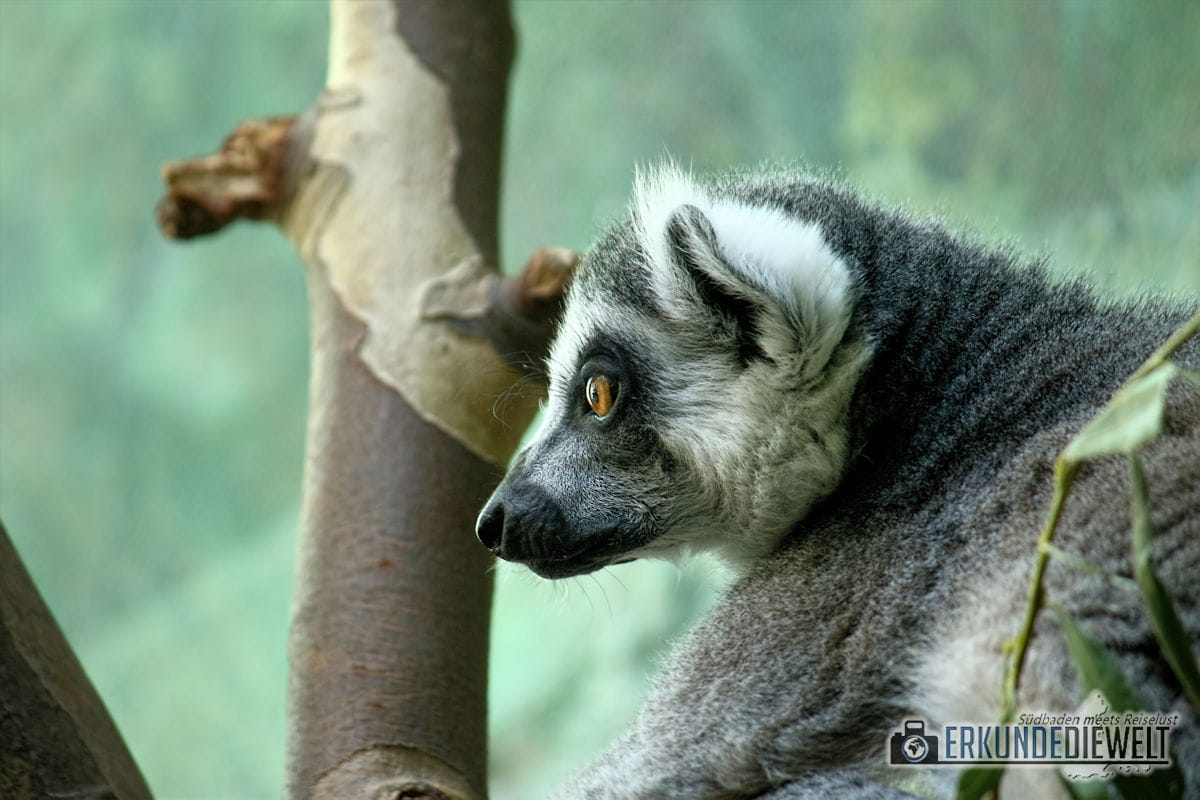Lemur | Zoo Antwerpen, Belgien
