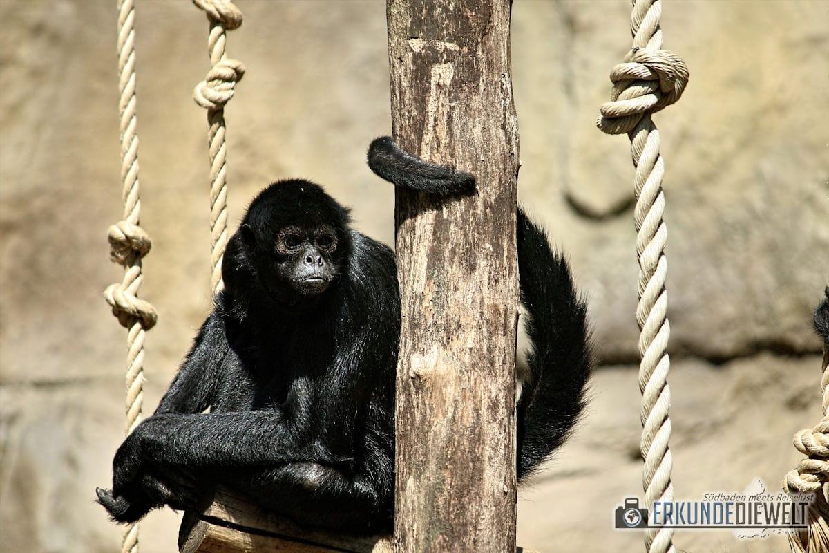 Affe | Zoo Antwerpen, Belgien