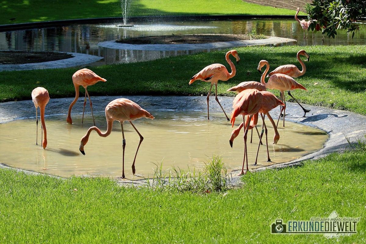 Flamingos | Zoo Antwerpen, Belgien