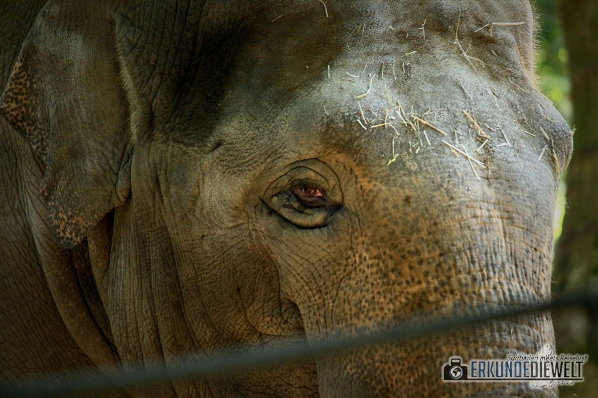 Elefant | Zoo Antwerpen, Belgien