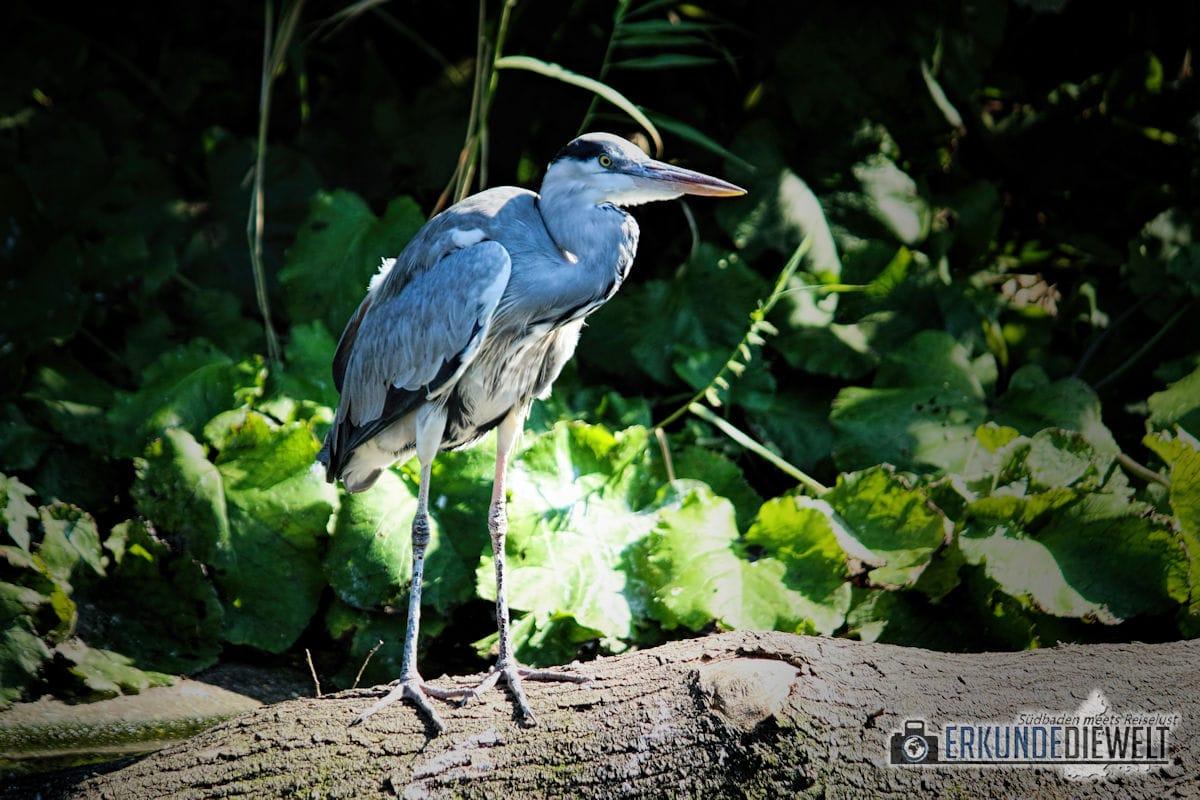 Fischreiher | Zoo Antwerpen, Belgien