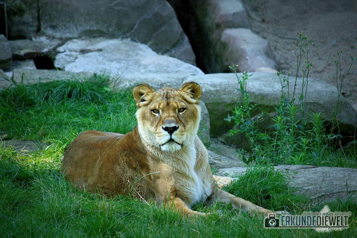 Löwe | Zoo Antwerpen, Belgien