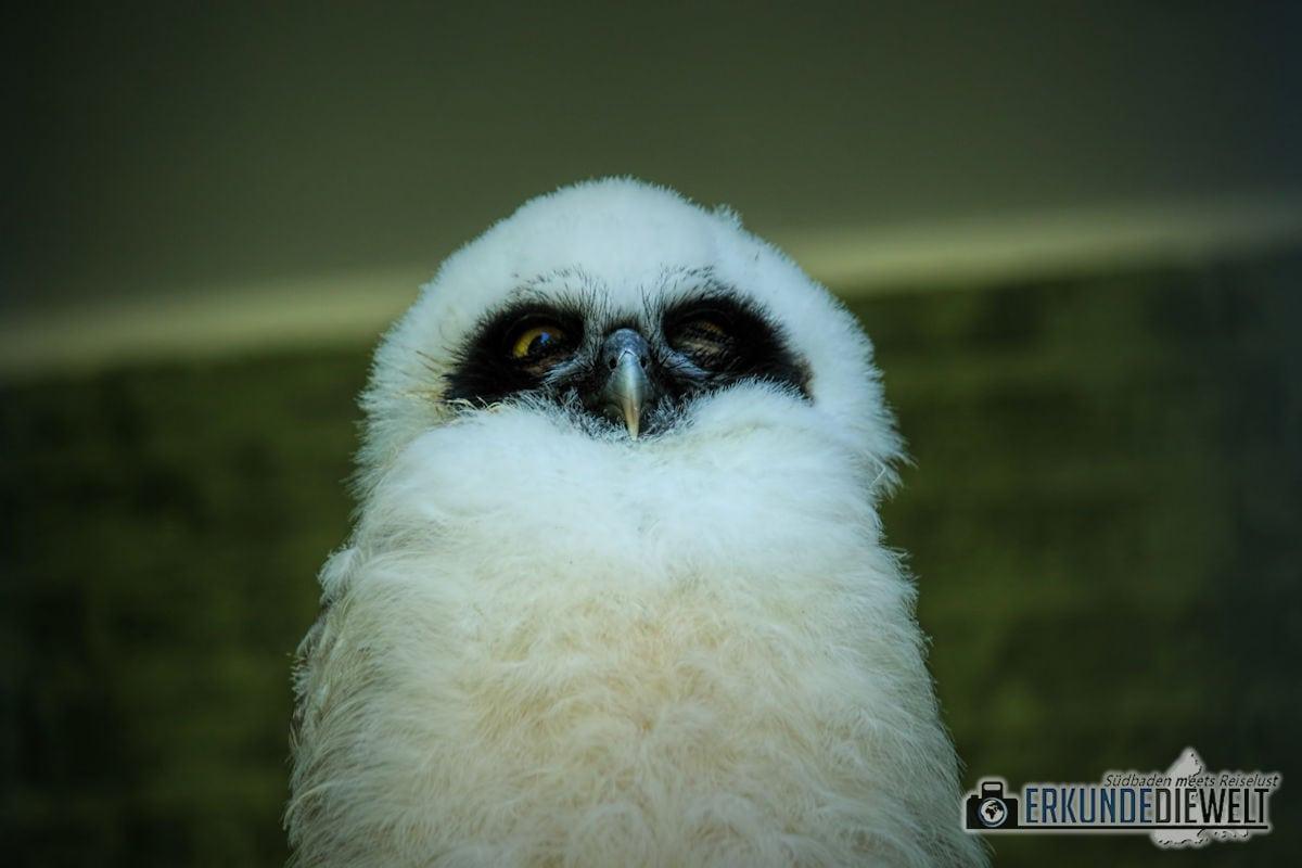 Eule | Zoo Antwerpen, Belgien