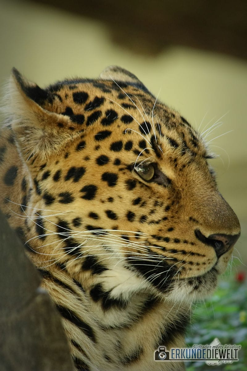Leopard | Zoo Antwerpen, Belgien