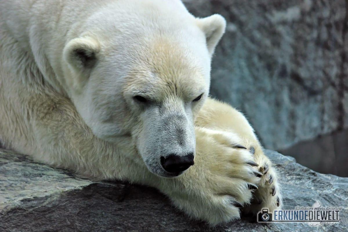 Eisbär | Zoo Karlsruhe, Deutschland