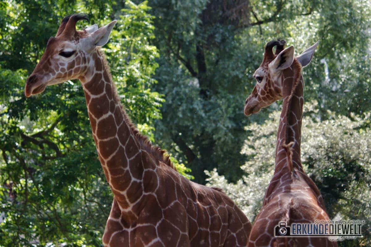 Giraffen | Zoo Karlsruhe, Deutschland