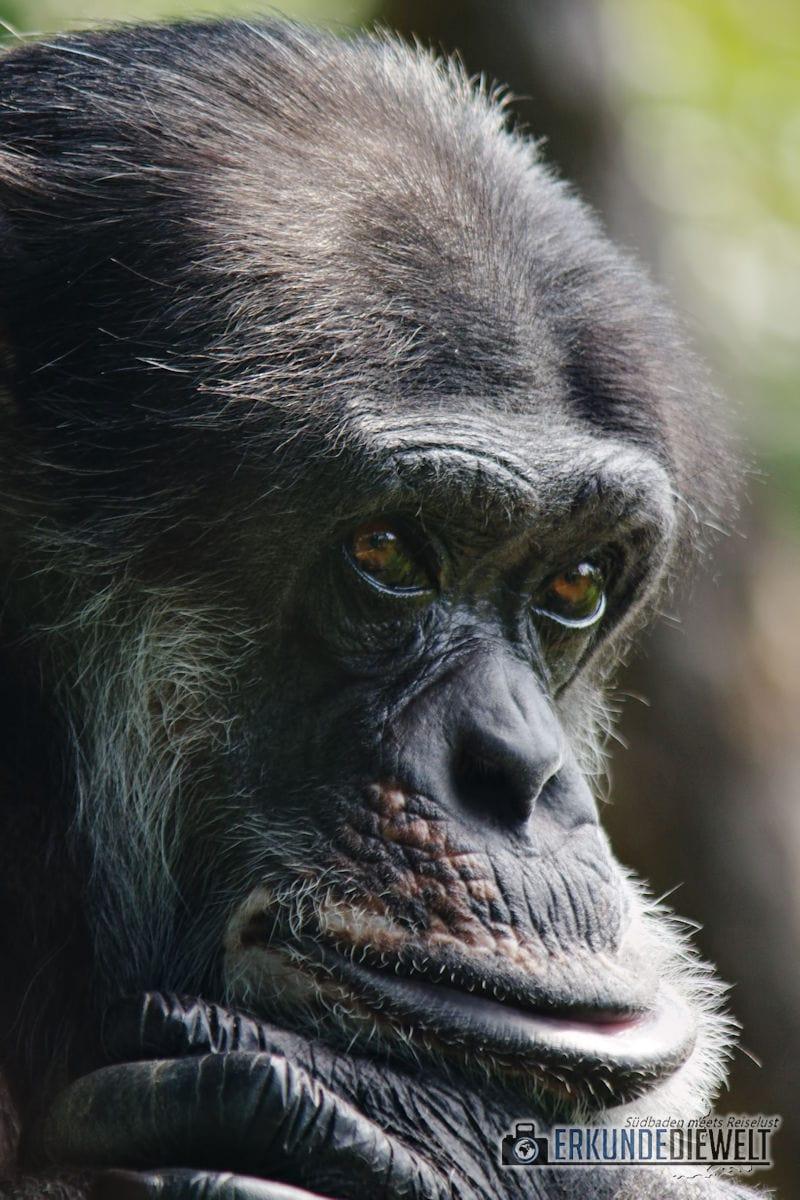 Chimpanse | Zoo Karlsruhe, Deutschland