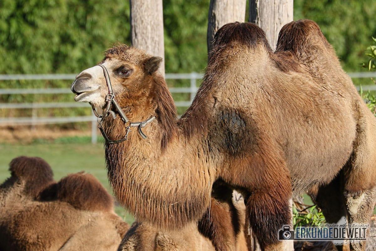 Kamel | Mundenhof Freiburg, Deutschland