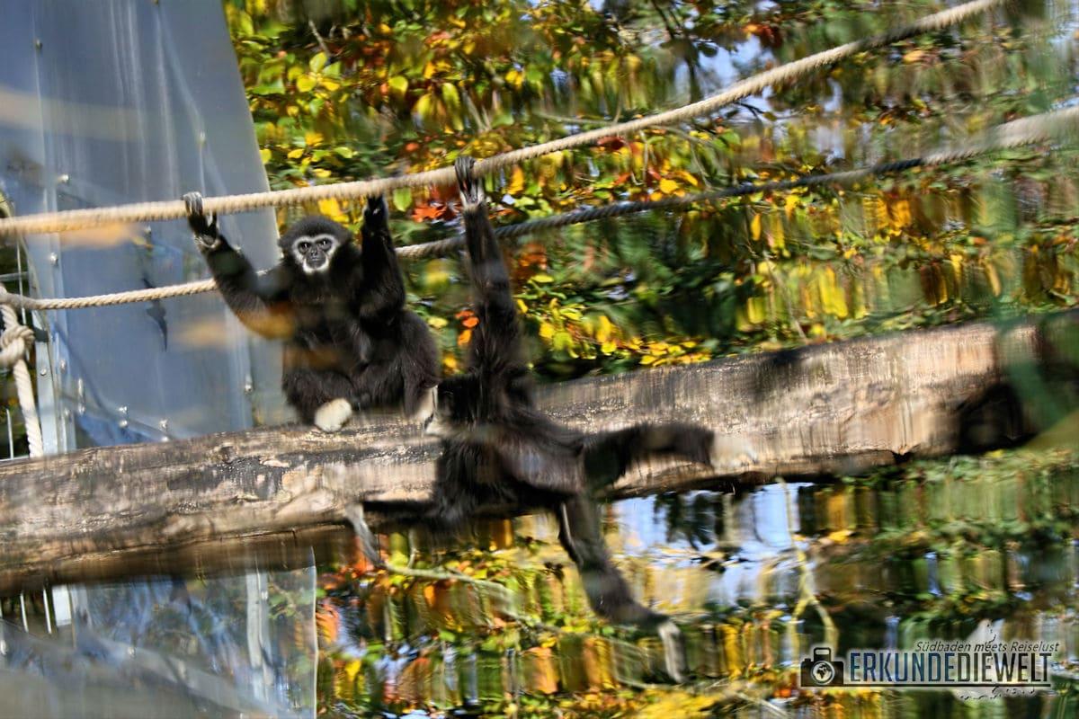Gibbon Affe | Mundenhof Freiburg, Deutschland