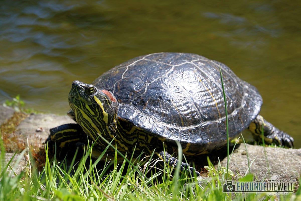 Schildkröte | Mundenhof Freiburg, Deutschland