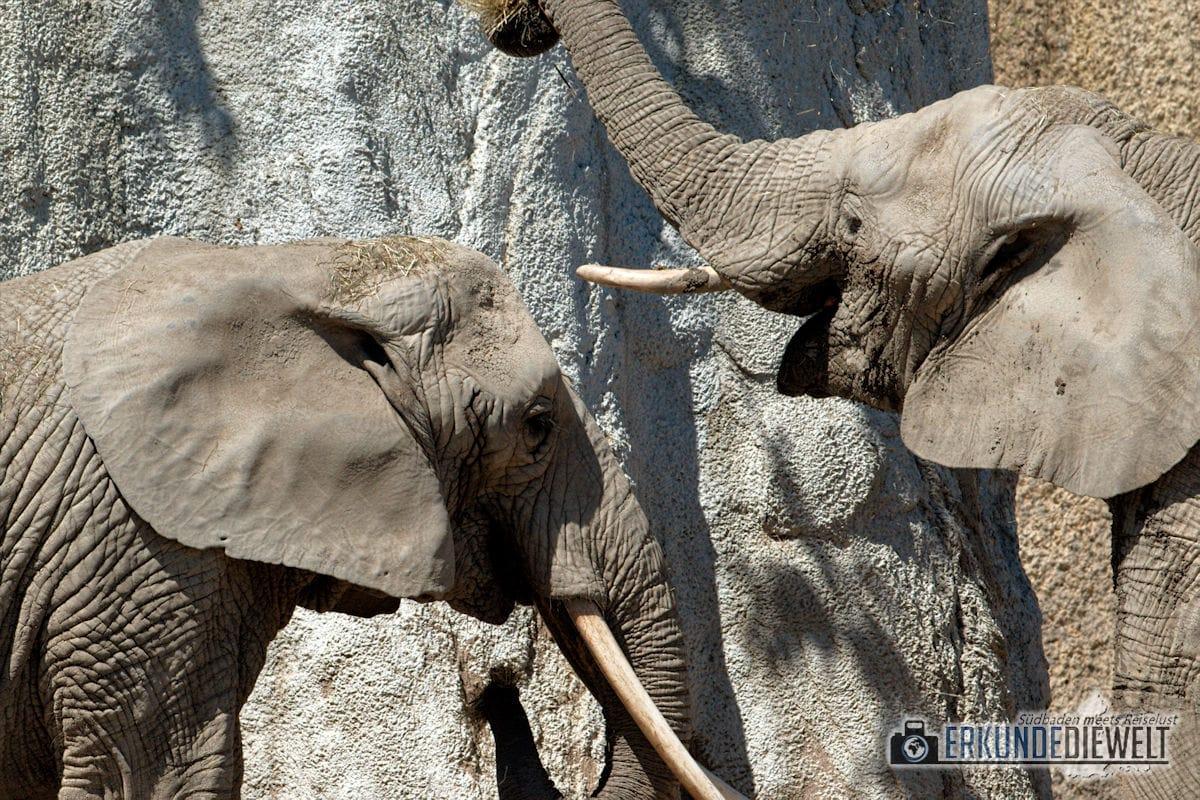Elefanten | Zoo Basel, Schweiz