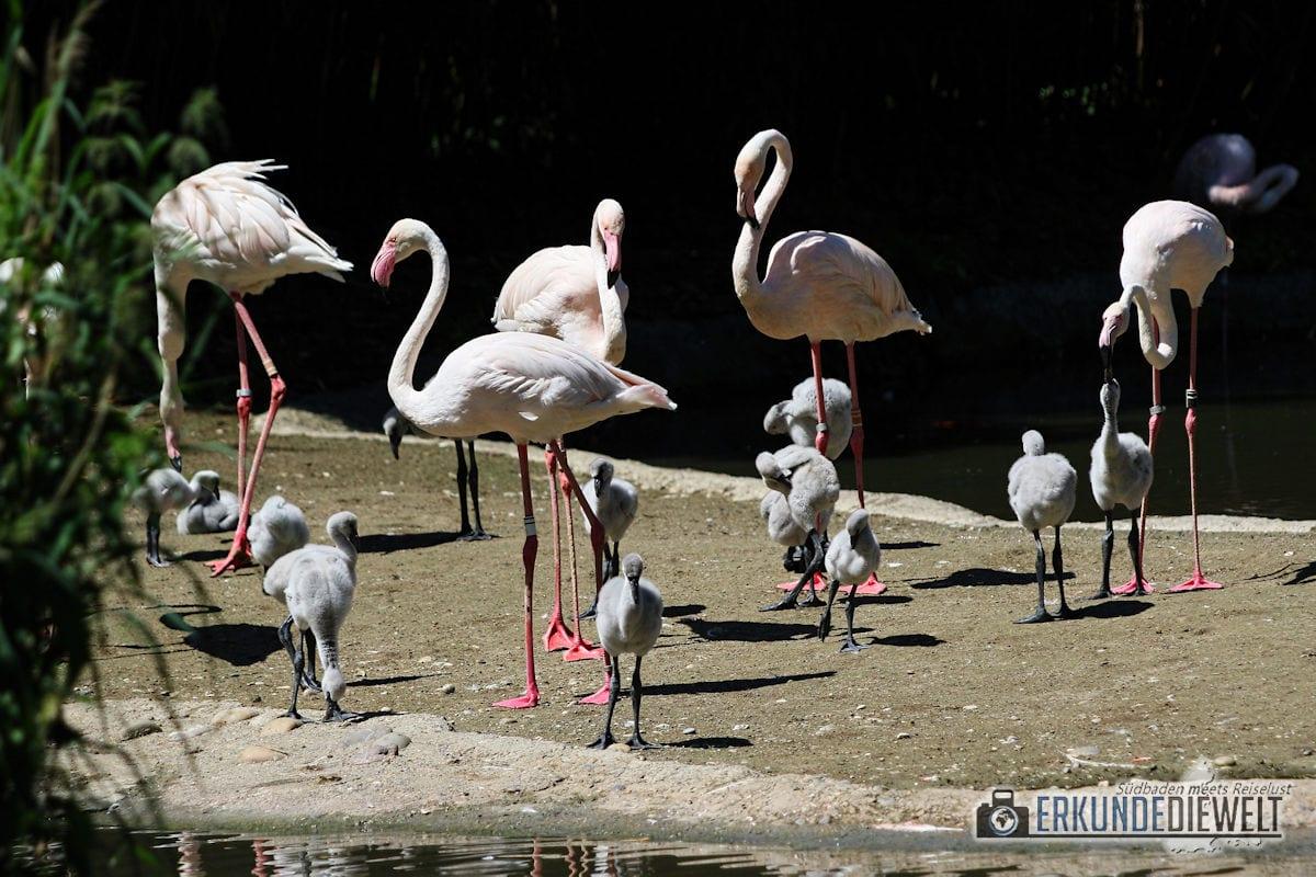 Flamingo mit Nachwuchs | Zoo Basel, Schweiz