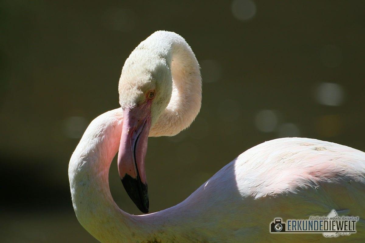 Flamingo | Zoo Basel, Schweiz