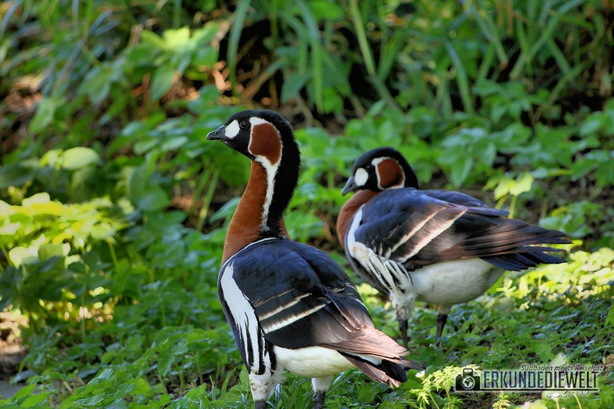 Rothalsgans | Zoo Basel, Schweiz