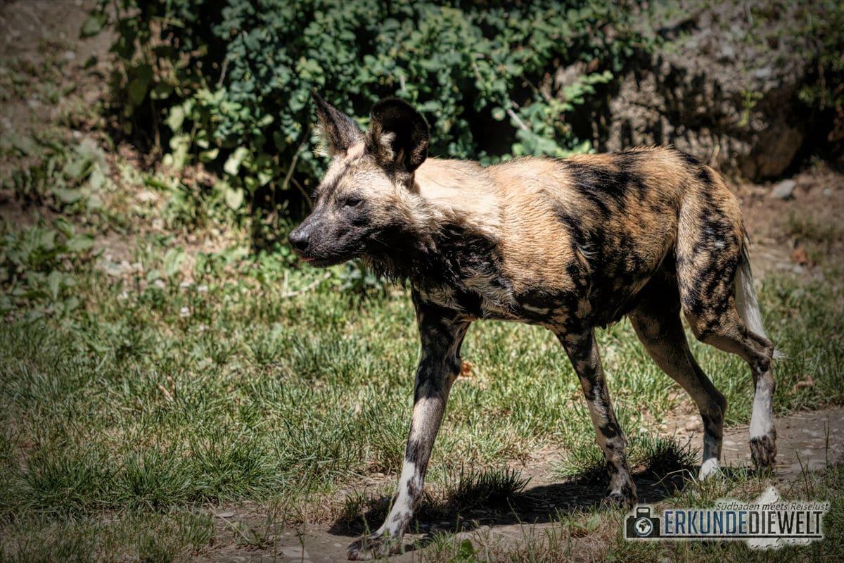 Afrikanischer Wildhund | Zoo Basel, Schweiz