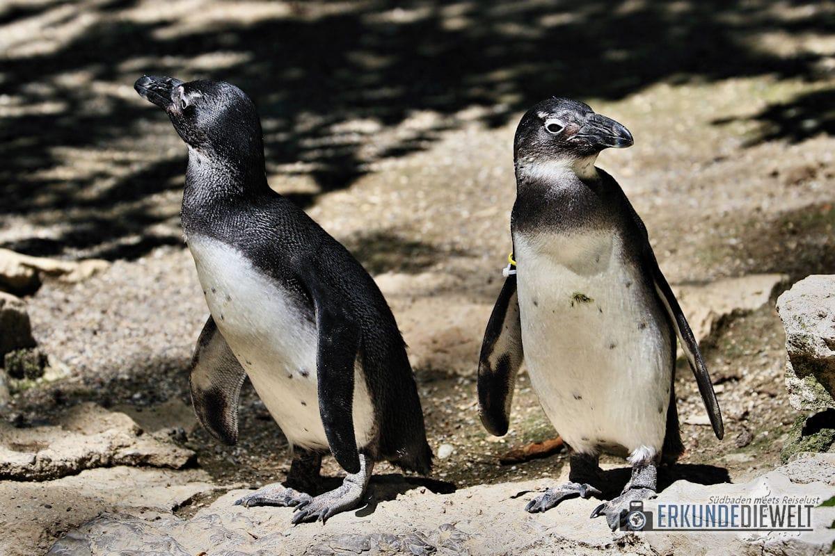 Pinguine | Zoo Basel, Schweiz