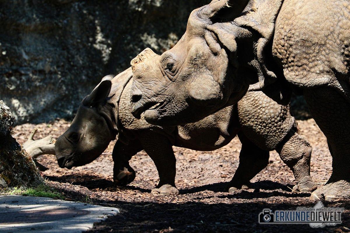 Nashorn | Zoo Basel, Schweiz