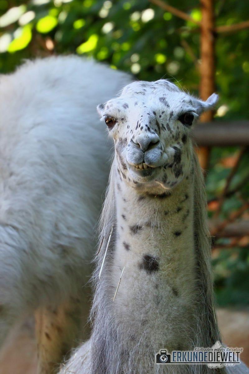 Lama | Zoo Basel, Schweiz