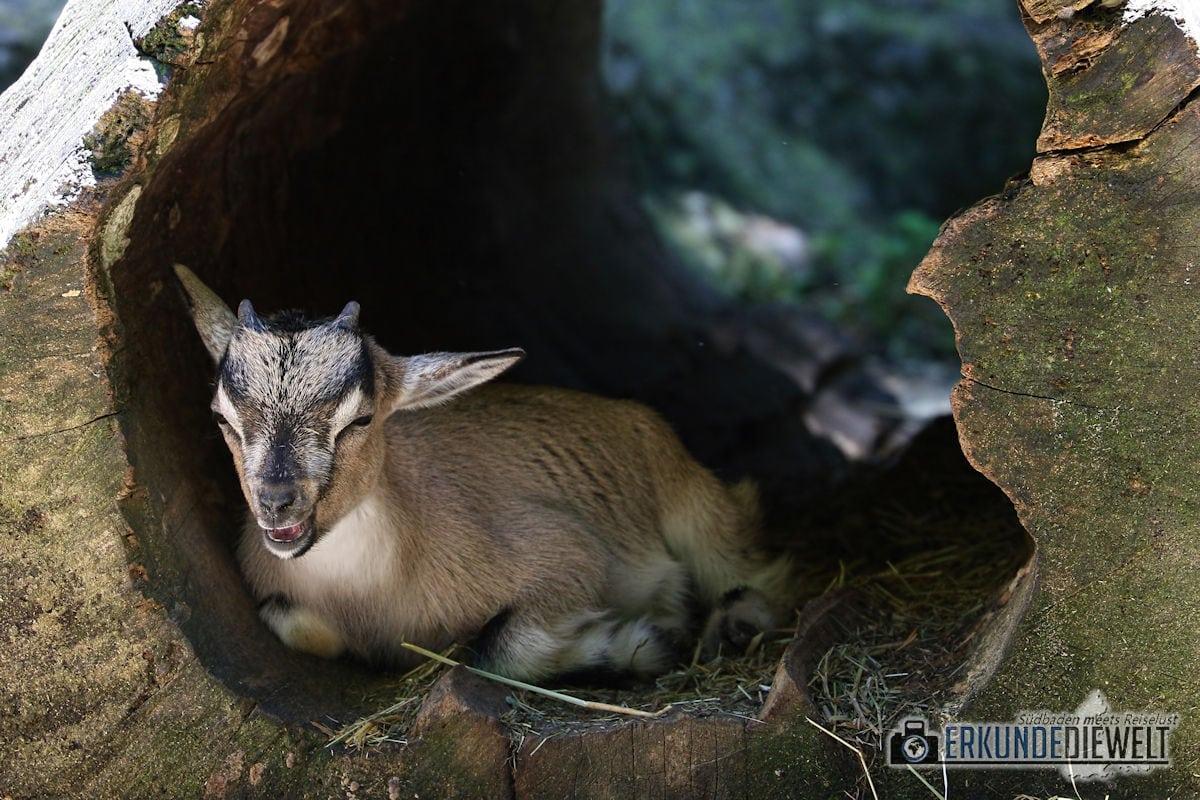 Bergziege | Zoo Basel, Schweiz