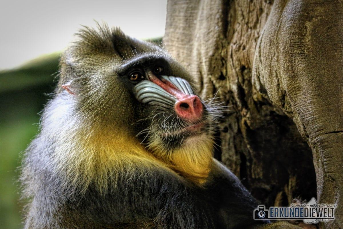 Mandrill | Tierpark Hagenbeck, Hamburg, Deutschland