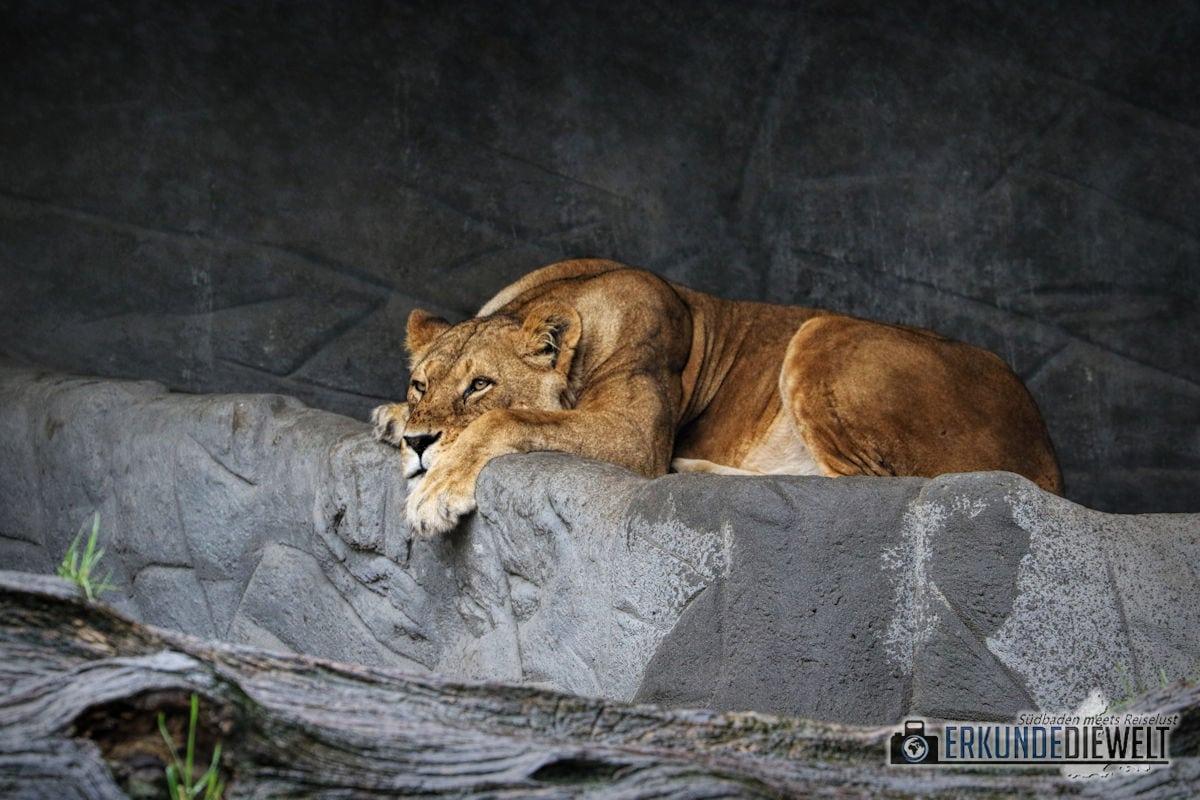 Löwin | Tierpark Hagenbeck, Hamburg, Deutschland
