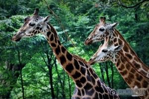 Giraffen   Tierpark Hagenbeck, Hamburg, Deutschland