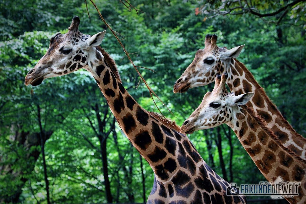 Giraffen | Tierpark Hagenbeck, Hamburg, Deutschland