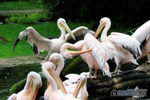 Pelikane   Tierpark Hagenbeck, Hamburg, Deutschland