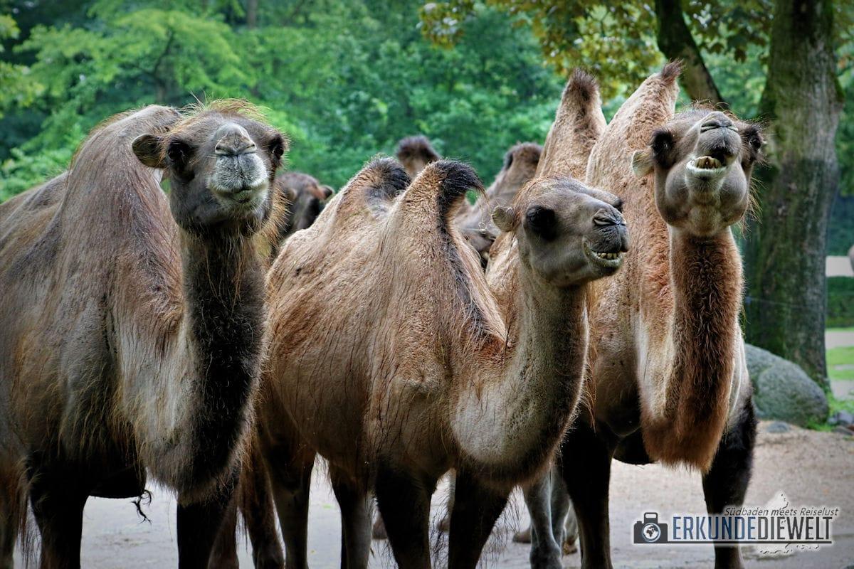 Kamele | Tierpark Hagenbeck, Hamburg, Deutschland