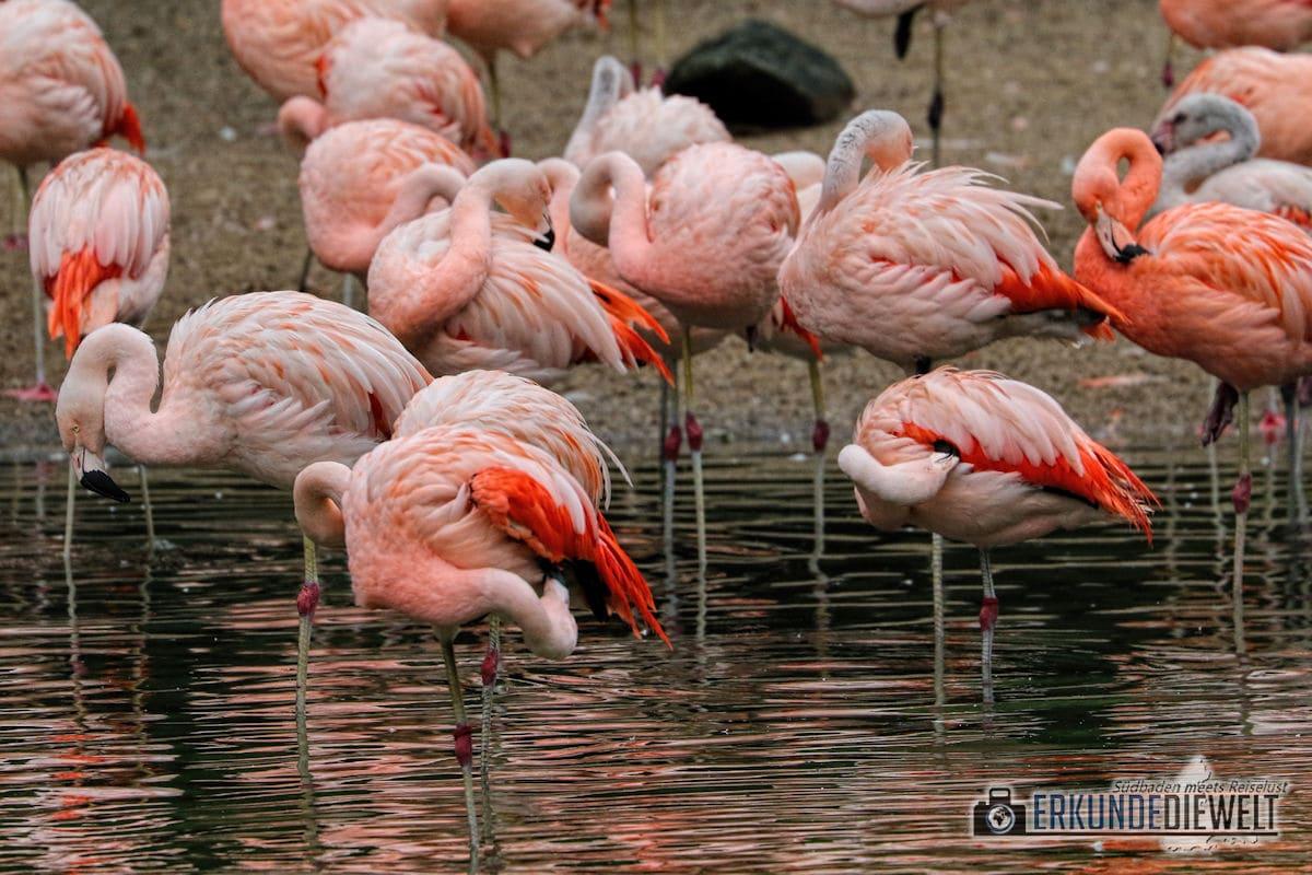Flamingos | Tierpark Hagenbeck, Hamburg, Deutschland