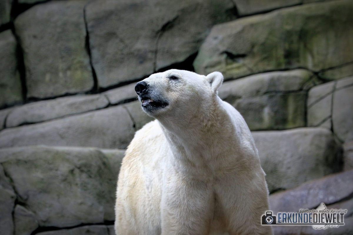 Eisbär | Tierpark Hagenbeck, Hamburg, Deutschland