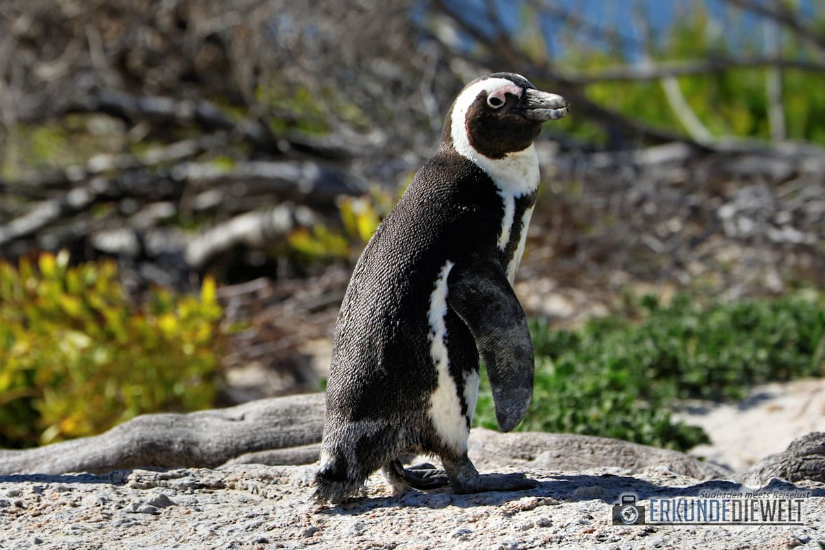 Pinguin, Boulders Beach, Südafrika