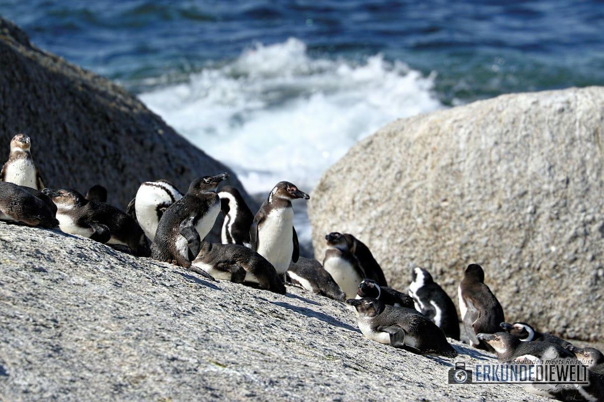 Pinguine, Boulders Beach, Südafrika
