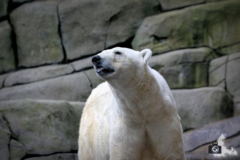 Eisbär im Tierpark Hagenbeck in Hamburg