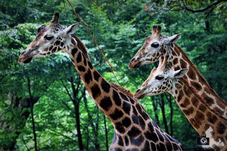 Giraffen im Tierpark Hagenbeck in Hamburg