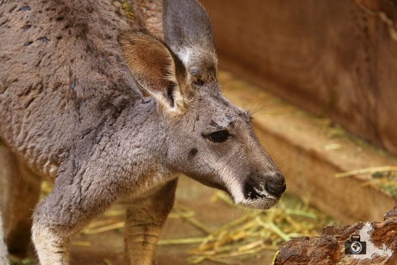 Känguru im Tierpark Hagenbeck in Hamburg